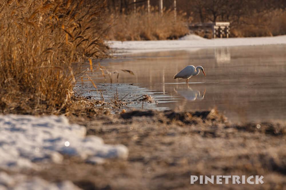 ウトナイ湖 ダイサギ 野鳥 苫小牧市