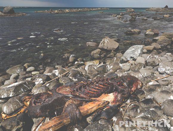 北海道 アザラシ 死体