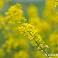 安平町 菜の花畑