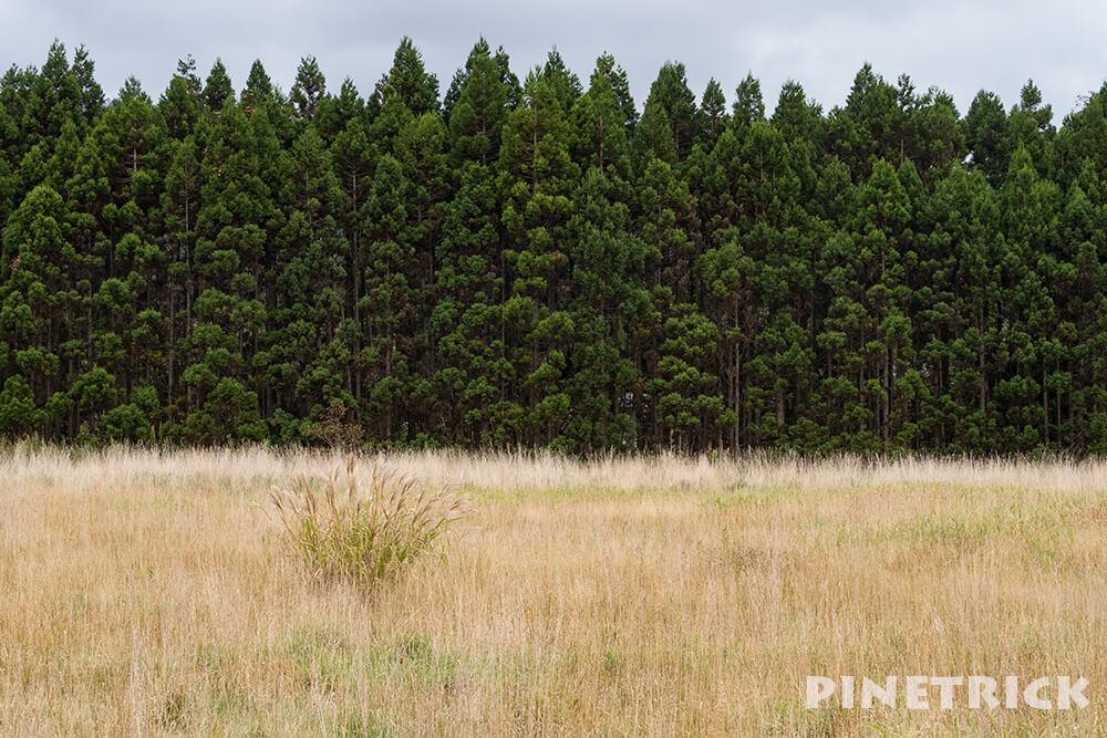 ススキ 針葉樹