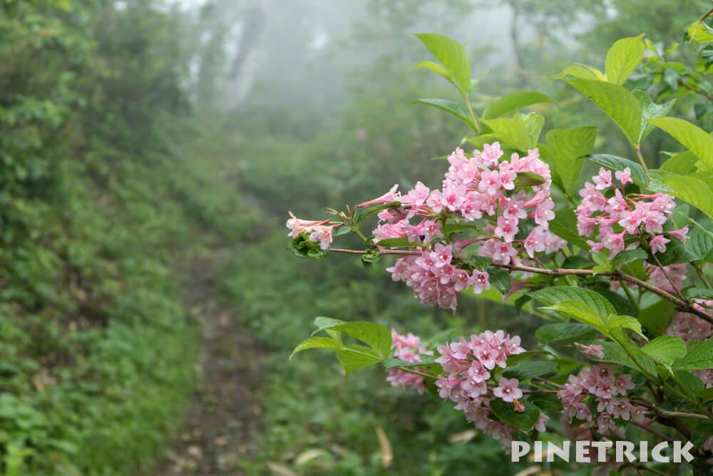 神居尻山 タニウツギ 登山 高山植物 ピンク 花