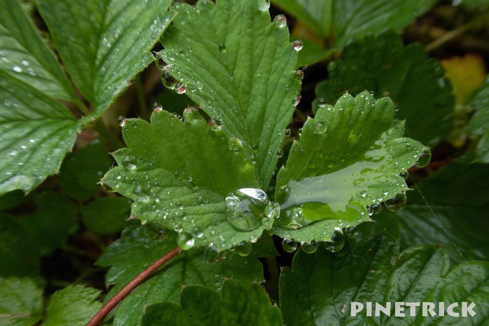 ノウゴウイチゴ 撥水 水玉 ゴアテックス