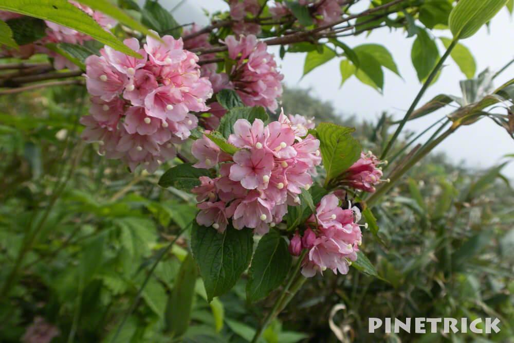 高山植物 ピンク 昆布岳 登山 7月