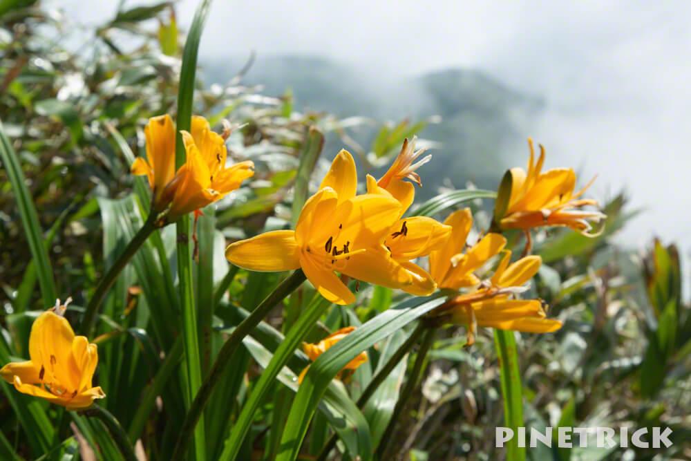 昆布岳 登山 高山植物 黄色 7月