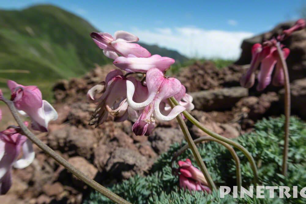 富良野岳 登山 十勝岳連邦 コマクサ