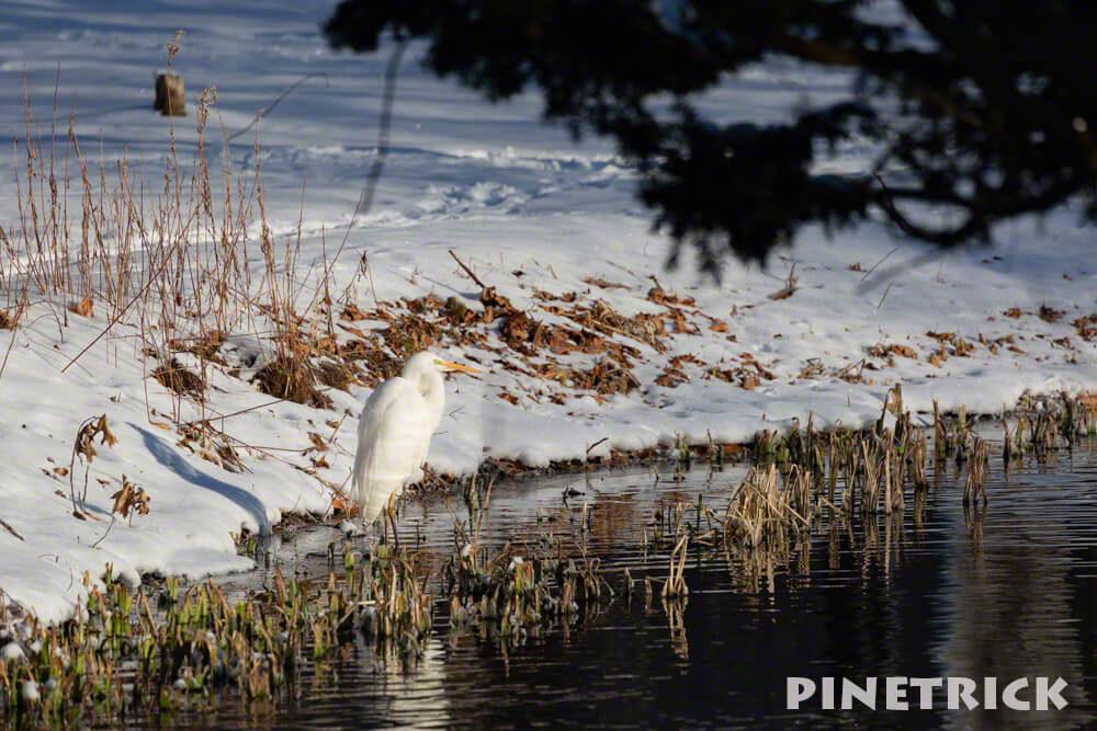 ダイサギ 野鳥 白い 鳥見