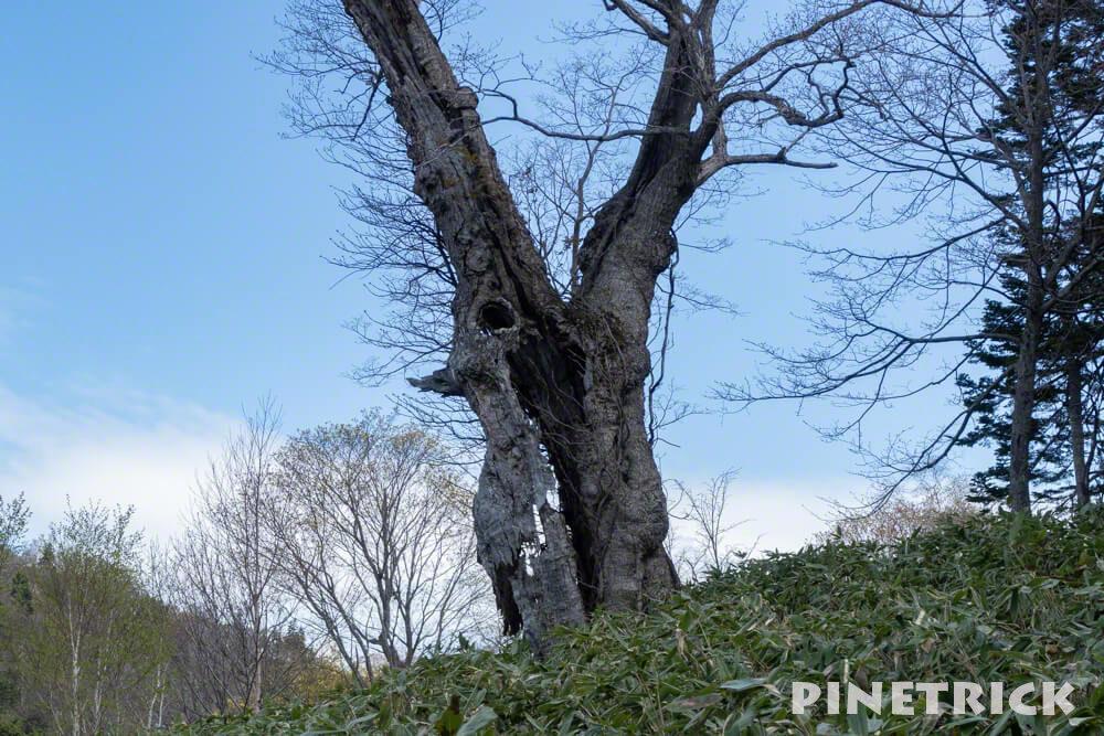 神居しい山 登山 シンボルツリー