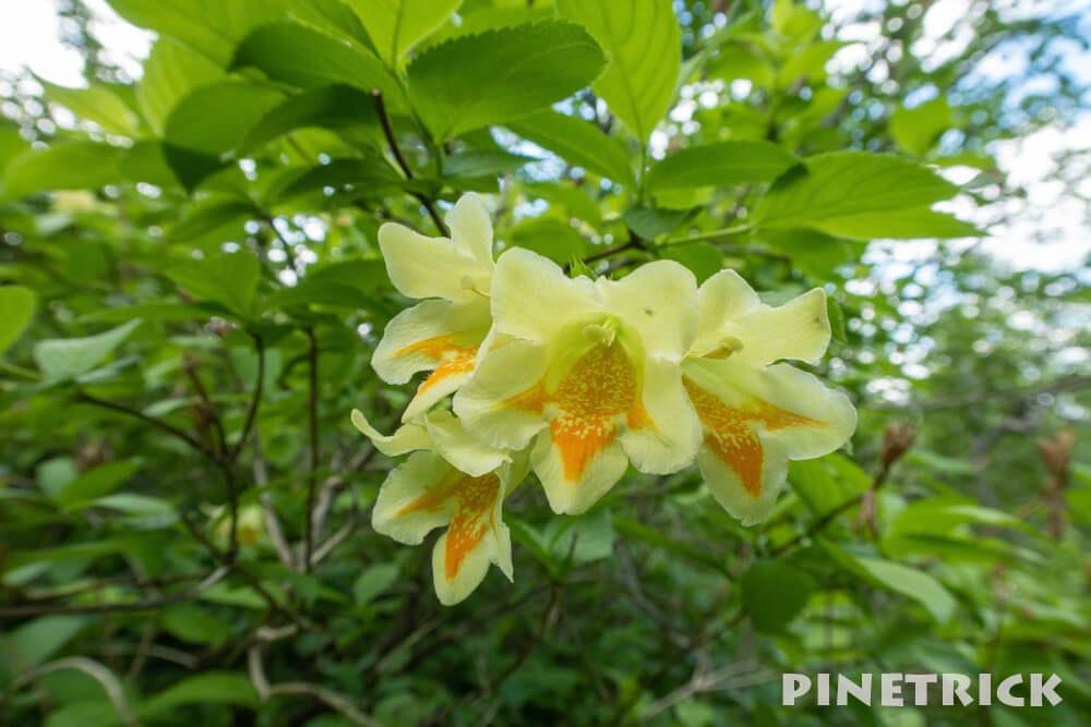樽前山 ウコンウツギ お花畑コース  トレッキング 登山 植物