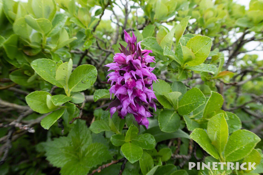 徳舜瞥山 花 ハクサンチドリ 紫色 高山植物