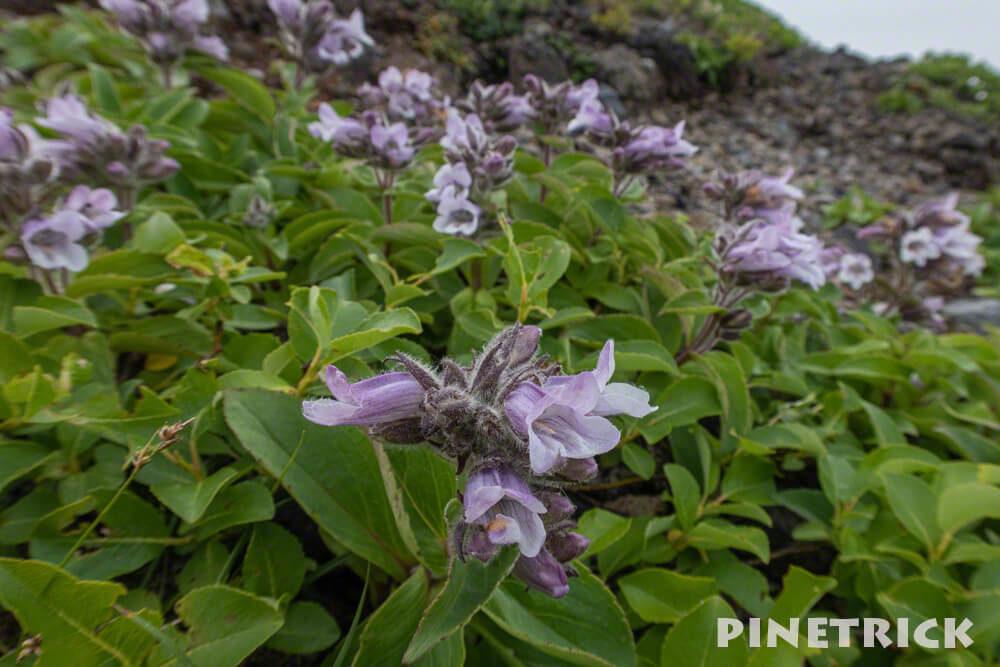 樽前山 タルマエソウ 樽前草 紫色