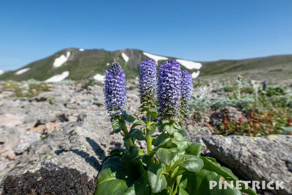 白雲岳 登山 ウルップソウ 高山植物 紫色