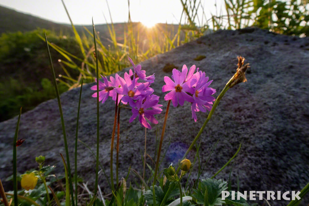 エゾコザクラ 朝日 逆光 高山植物 白雲岳避難小屋 水場