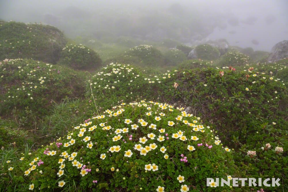 トムラウシ山 チングルマ 高山植物 北沼 南沼キャンプ指定地