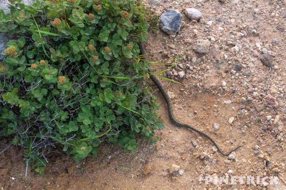 イワオヌプリ 蛇 ヘビ ニセコ 草むら