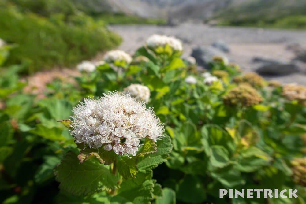ニセコ イワオヌプリ エゾイソツツジ 登山 高山植物