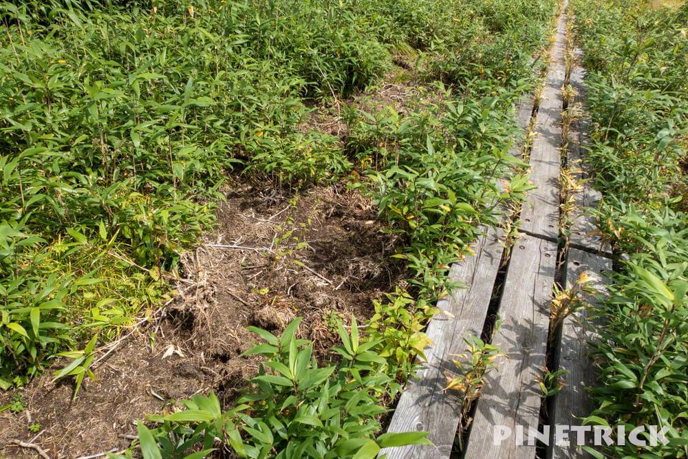 雨竜沼湿原 掘り返し 熊 木道