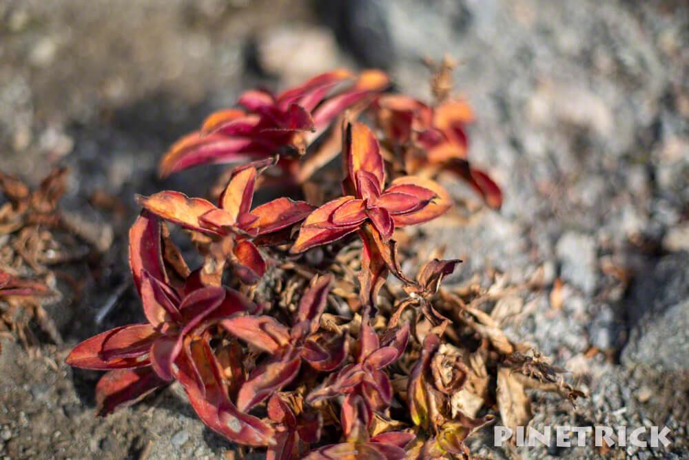樽前山 タルマエソウ 葉 枯れた 紅葉