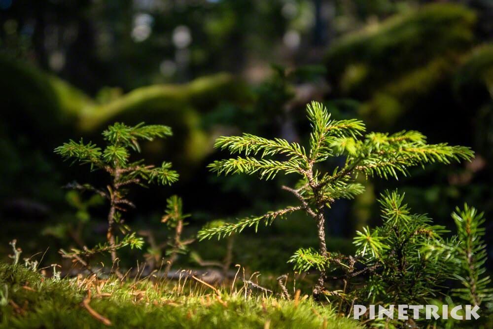 雌阿寒岳 登山 樹林帯 木漏れ日 松