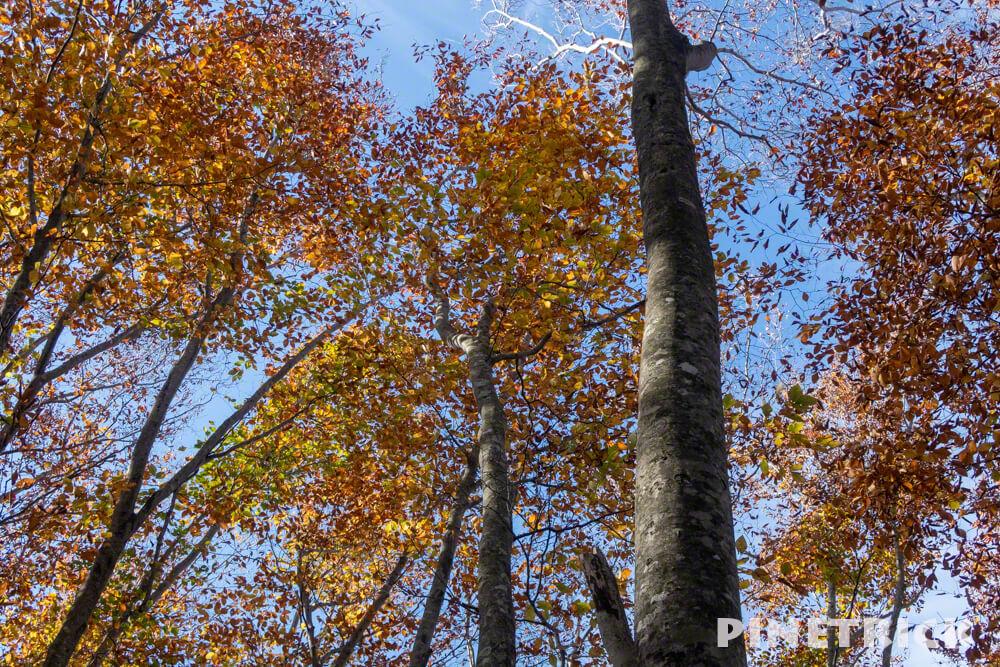 黒松内町 添別ブナ林 北海道遺産 北限のブナ林 紅葉 金茶色 ヒグマ