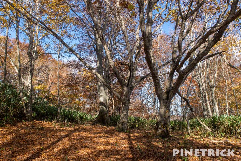 黒松内町 添別ブナ林 北海道遺産 北限のブナ林 紅葉 金茶色 ヒグマ Aコース 3本の木の広場