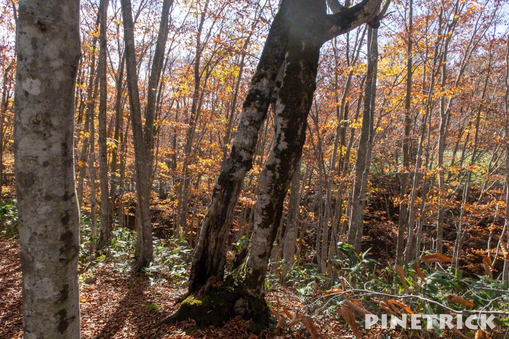 黒松内町 添別ブナ林 北海道遺産 北限のブナ林 紅葉 金茶色 ヒグマ Aコース まどの木