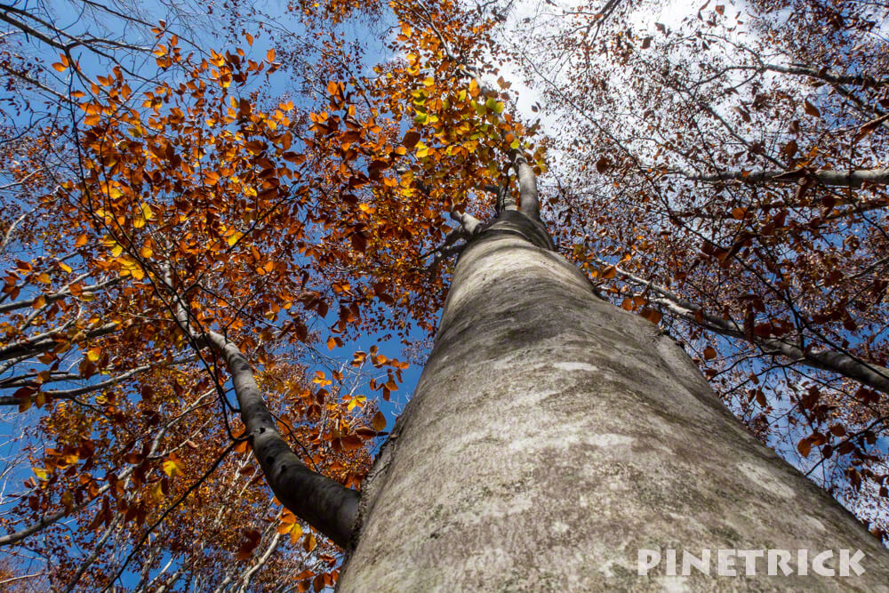 黒松内町 添別ブナ林 北海道遺産 北限のブナ林 紅葉 金茶色 ヒグマ Aコース 木肌