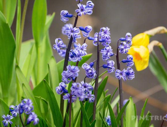 ガーデニング 山菜 ヒヤシンス 紫色 北海道 水仙 黄色 クローズアップレンズ