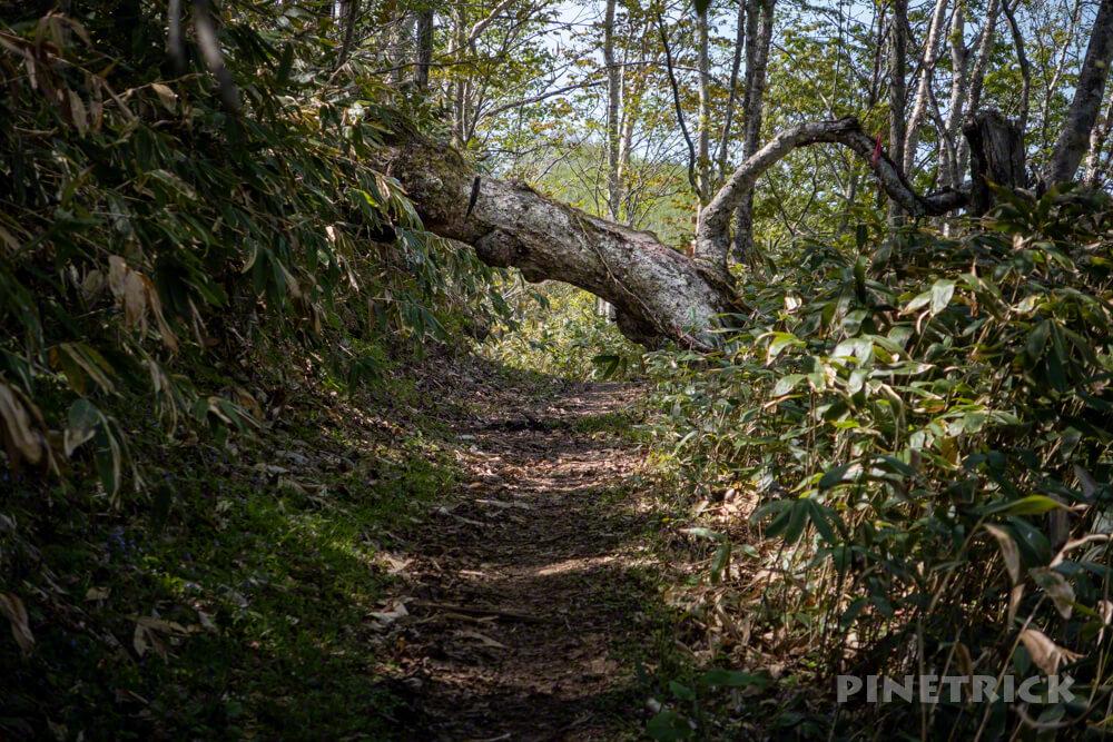イチャンコッペ山 下山 倒木 くぐる 北海道 トレッキング 新緑 樹林帯