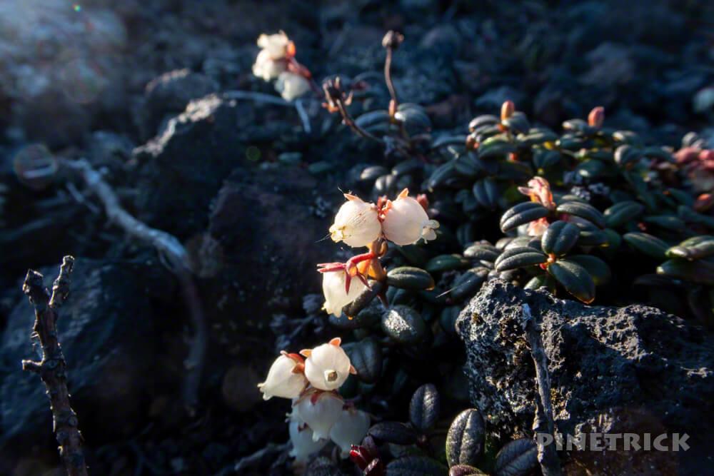コメバツガザクラ 樽前山 北海道 登山 高山植物 かわいい 可憐 ピンク
