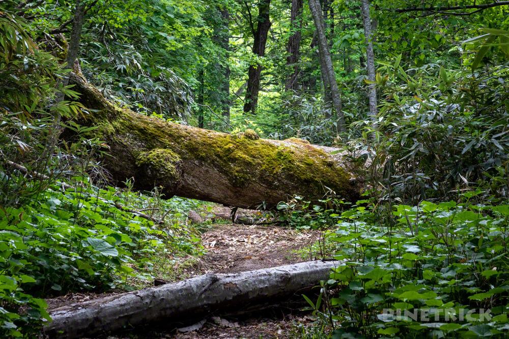 風不死岳 登山 北海道 倒木