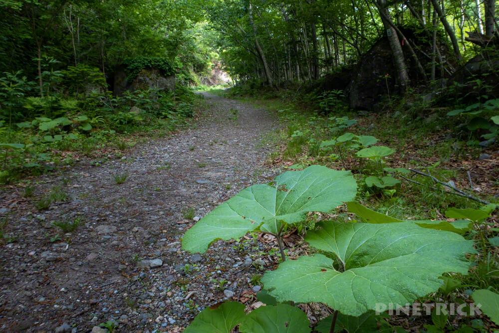 恵庭岳 登山道 フキ 樹林帯
