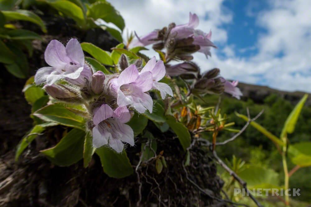 樽前山 タルマエソウ 樽前草 タルマイソウ 高山植物 北海道 登山 6月