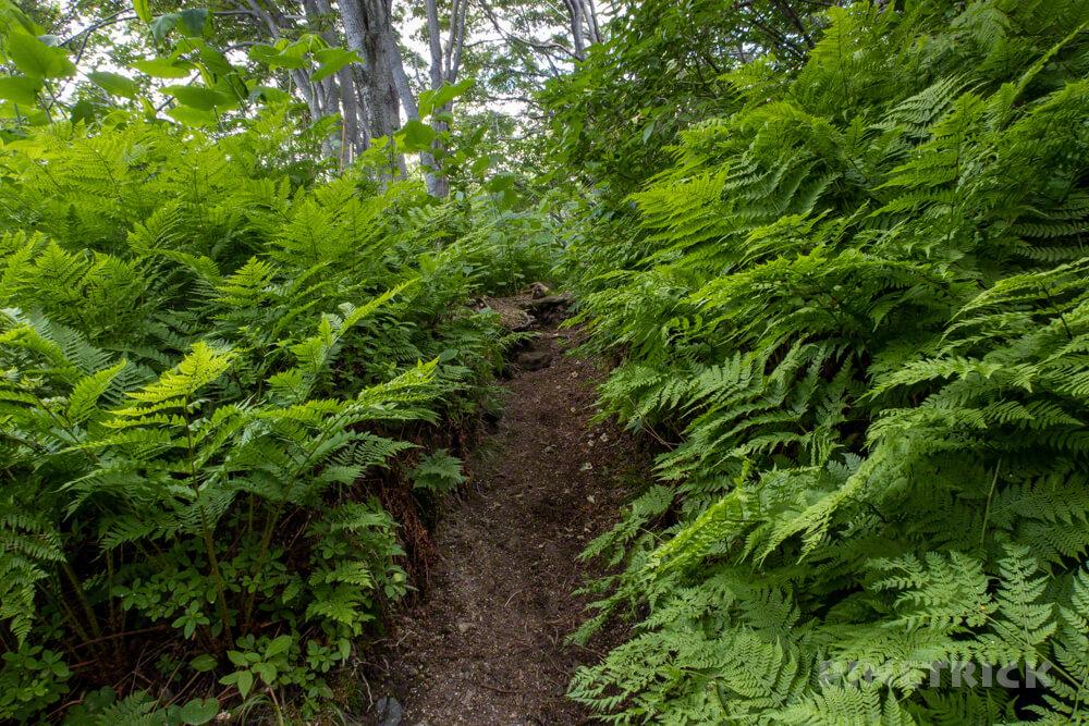 樽前山 お花畑コース 樹林帯 シダ 北海道 登山 トレッキング