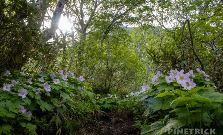 夕張岳 登山 シラネアオイ 花の百名山 北海道