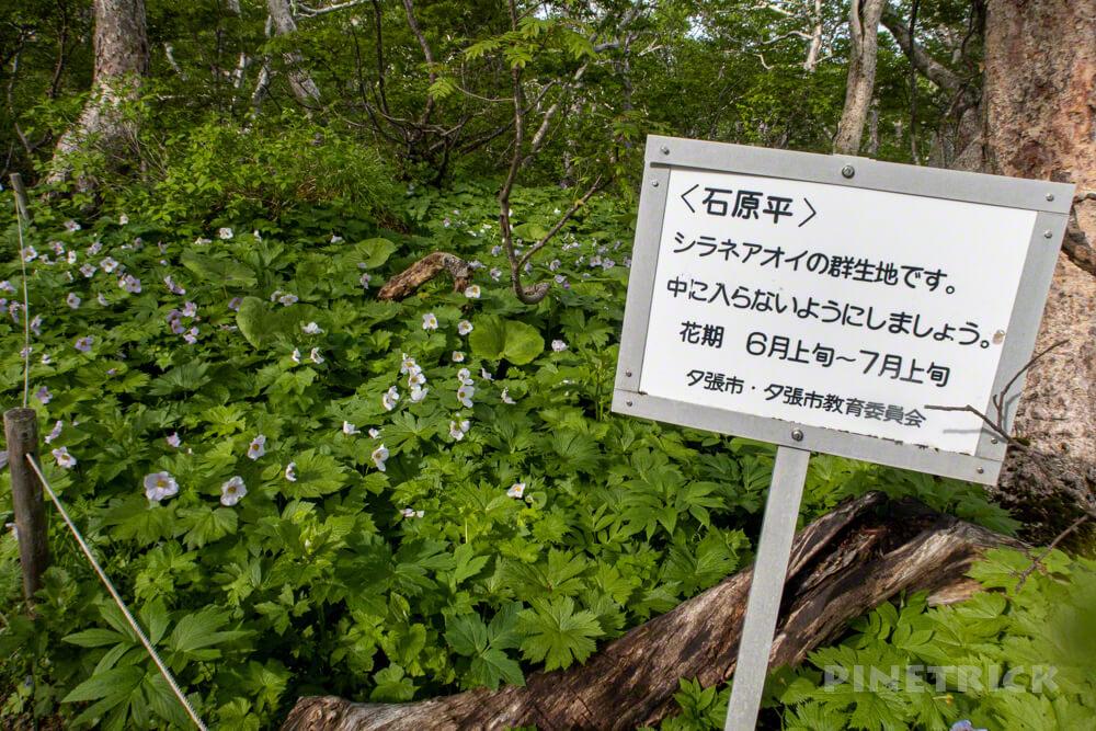 夕張岳 登山 北海道 花の百名山 シラネアオイ 群生地 石原平