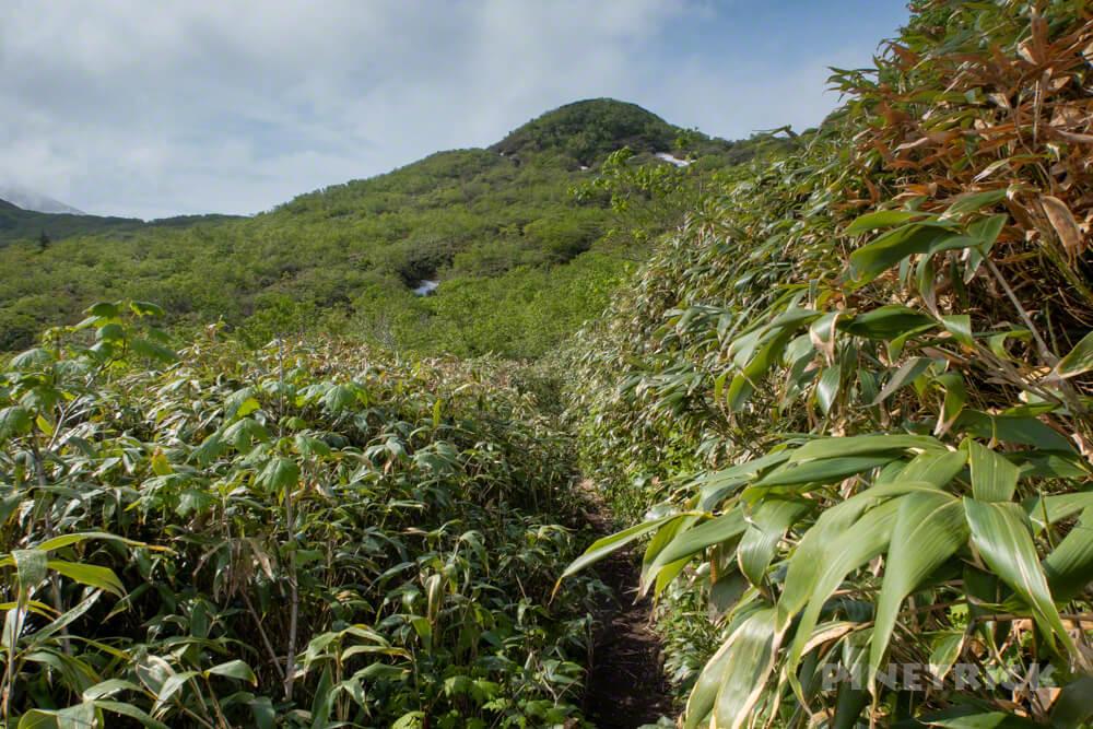 夕張岳 登山 北海道 笹かぶり 山道