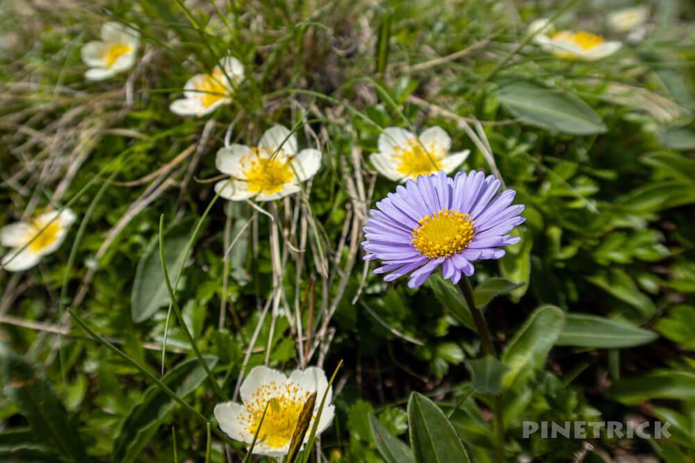 夕張岳 登山 花の百名山 北海道 ミヤマアズマギク チングルマ 高山植物