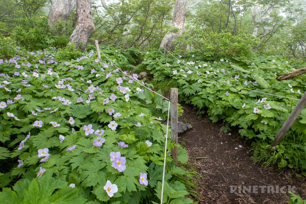 夕張岳 登山 北海道 花の百名山 シラネアオイ 群生地