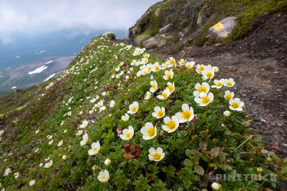 十勝岳連峰 美瑛岳 チングルマ 高山植物