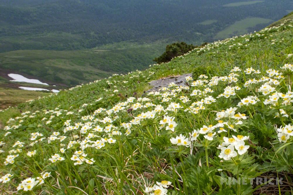エゾノハクサンイチゲ 原始が原 高山植物 花の百名山 富良野岳 北海道 登山