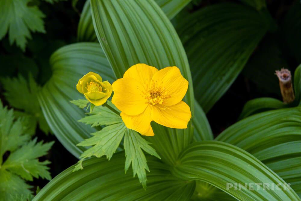 シナノキンバイソウ 芦別岳 登山 新道コース 高山植物 黄色