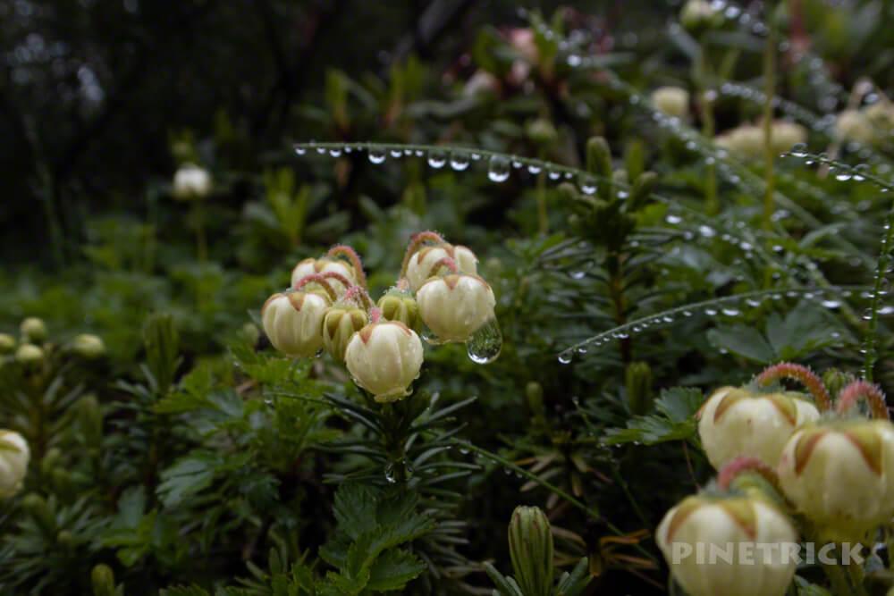 北海道 第一花畑 アオノツガザクラ 高山植物 水滴 朝露