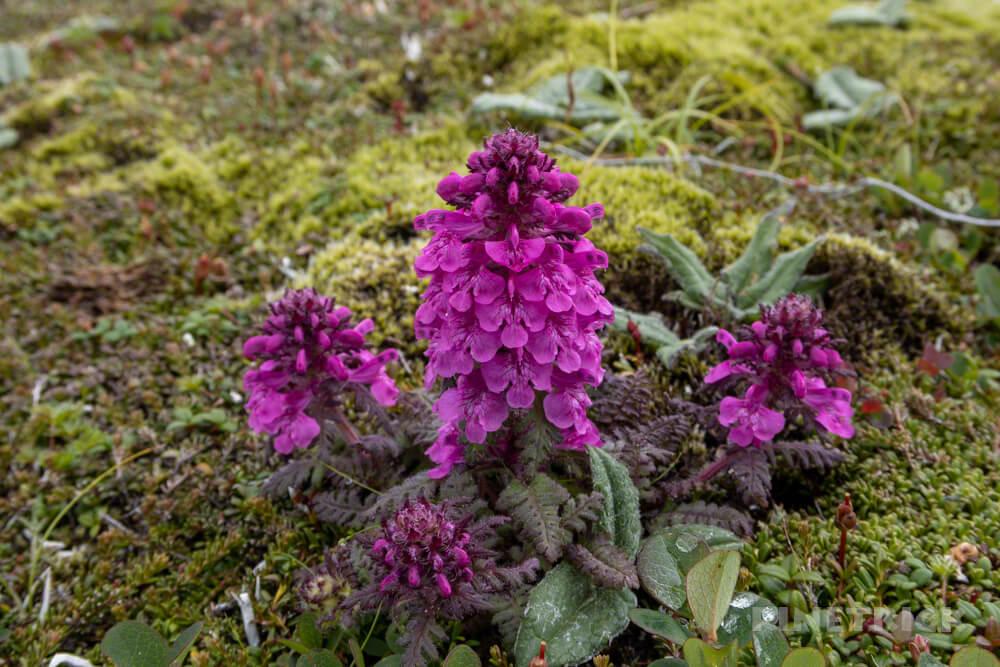 大雪山 高山植物 タカネシオガマ 赤紫色