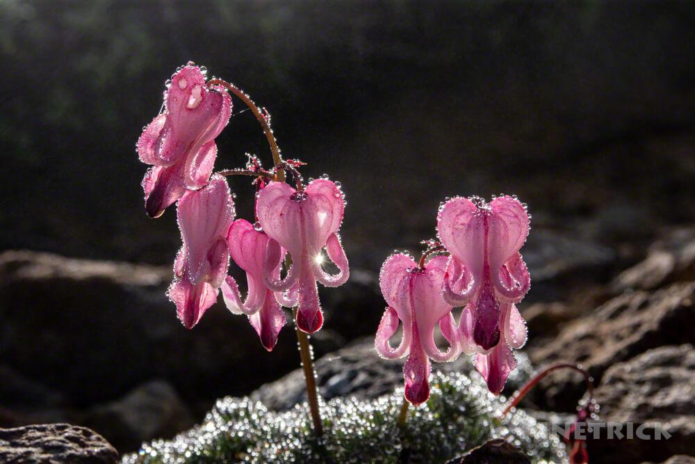 コマクサ 高山植物 女王 ピンク 神々しい