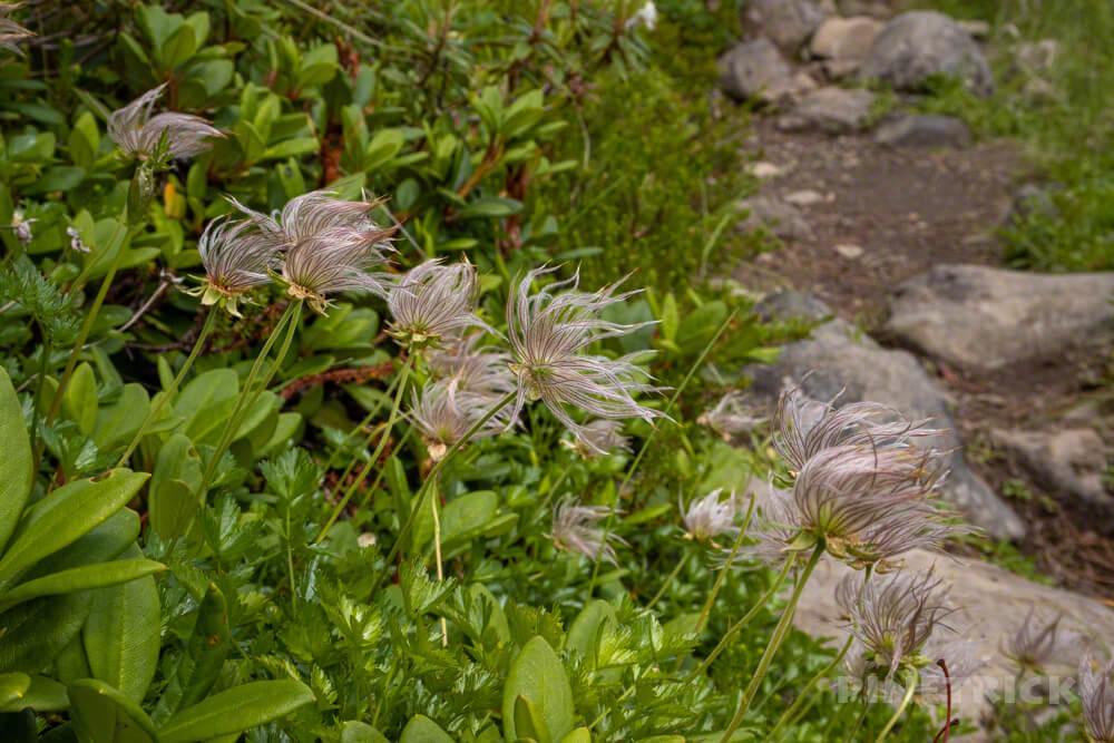 大雪山 高根ヶ原 チングルマ フサフサ 高山植物