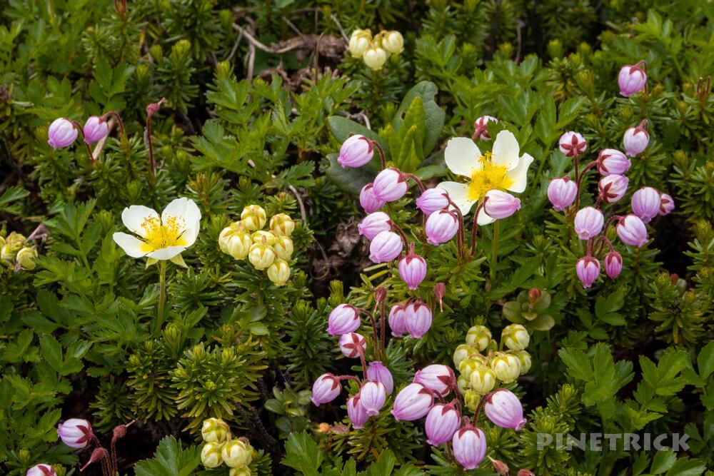 大雪山 高山植物 チングルマ アオノツガザクラ エゾツガザクラ