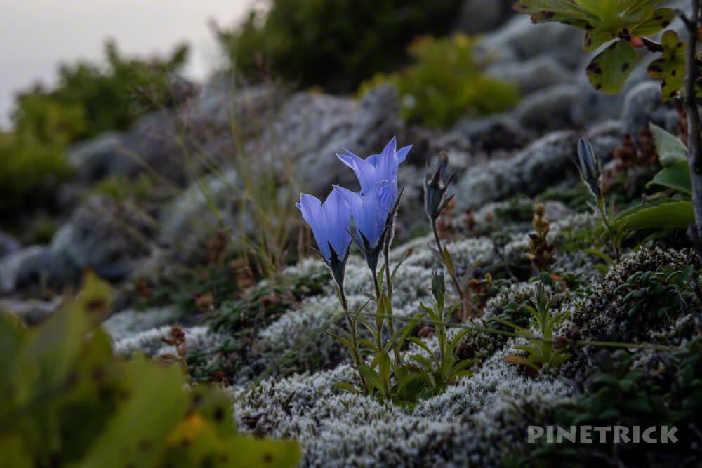 樽前山 イワギキョウ 北海道 サンセット登山
