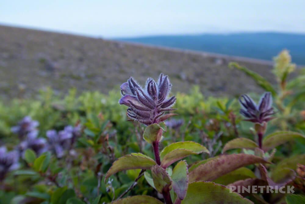 樽前山 タルマエソウ 蕾 北海道