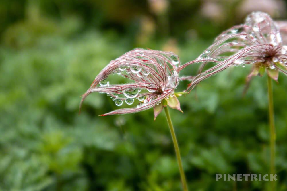 暑寒別岳 高山植物 花 チングルマ 北海道