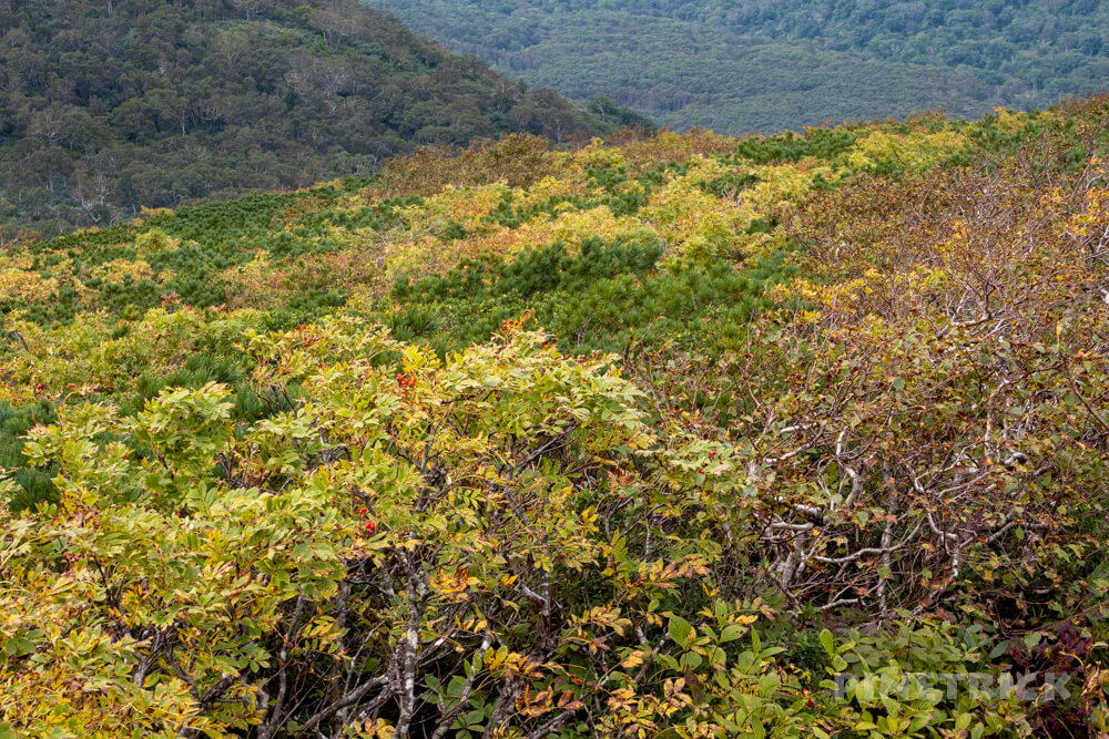 ニセコ シャクナゲ岳 登山 北海道 ウラジロナナカマド 紅葉